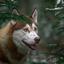 Snowy Husky