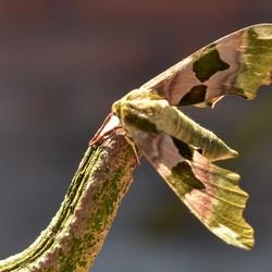 Tabee m,n vriend /Lindepijlstaart vlinder.....