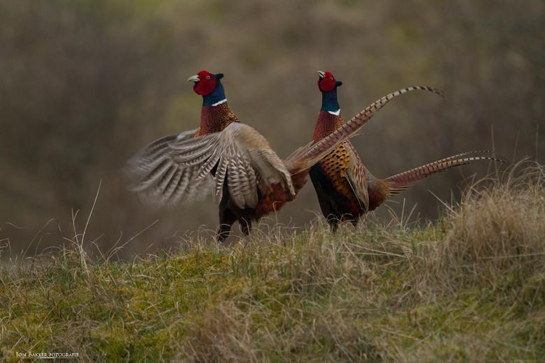 Voorjaars gedrag van de fazanten mannen