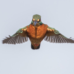 Biddende IJsvogel