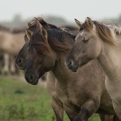 Konikpaarden Oostvaardersplassen