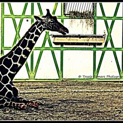 Bewerking Giraffe