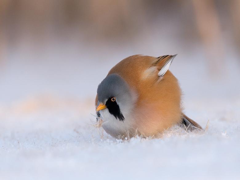 baardman in de sneeuw - Gemaakt liggend op het ijs. Baardmannetje kwam op het ijs om de gevallen zaadjes van de lisdodde te eten.