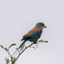 Lilac Breasted Roller ..