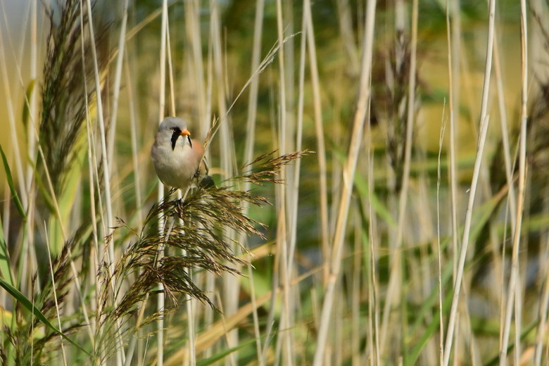 Baardman - De 1e vogel die ik fotografeerde op de Marker Wadden. Er zitten veel baardmannetjes op de Marker Wadden, maar ze laten zich niet zo makkeli