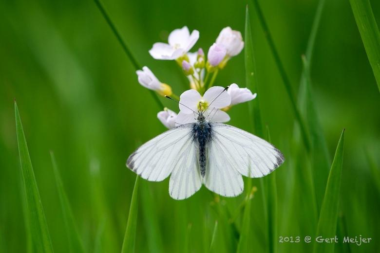 """klein geaderd witje ... - Klein geaderd witje laag in het hoge gras, dus zoals gewoonlijk : plat op de buik <img  src=""""/images/smileys/smile.png""""/>"""