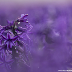 Paars Hyacinten