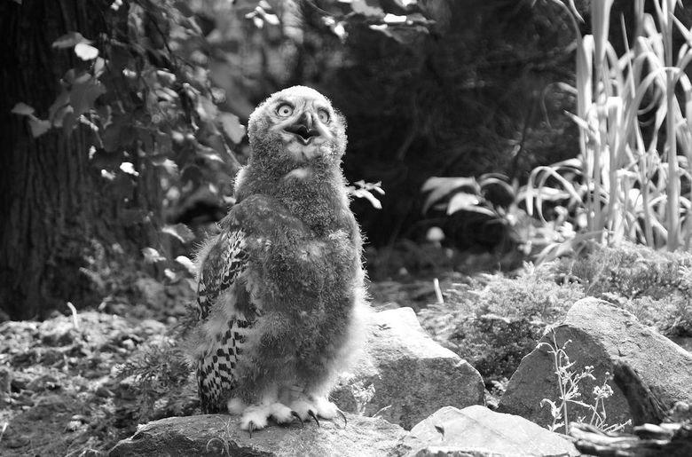 Jonge sneeuwuil - Een gelukje, de jonge uilen waren op ooghoogte en actief.