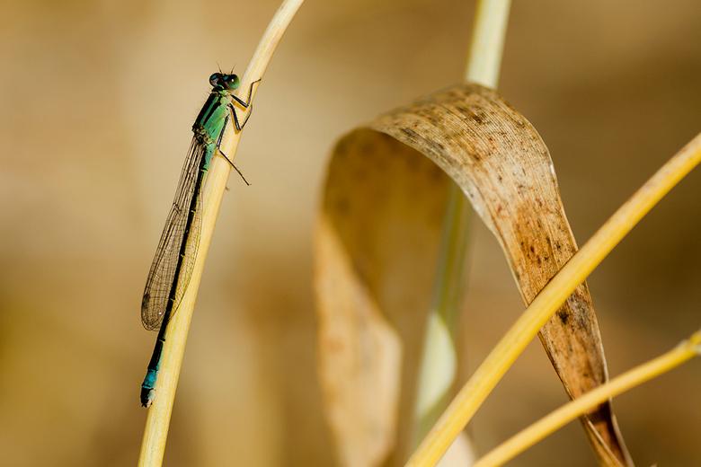 Libelle - Ook deze libelle heeft een fijn plekje in de zon gevonden.