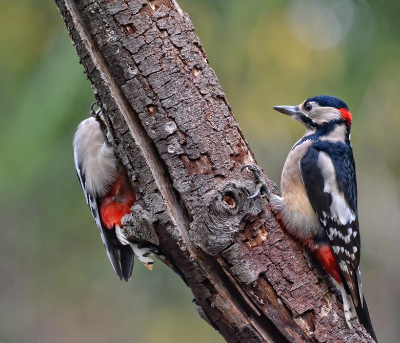 """Bonte Specht - al zo vaak """"op wacht"""" gestaan om een specht te kunnen fotograferen.  vaak gezien en gehoord maar, hoog in de boom tussen vele"""