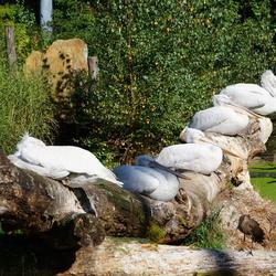 pelikanen familie in de zon