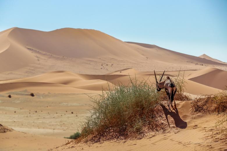 Spiesbok in Sossusvlei, Namibie