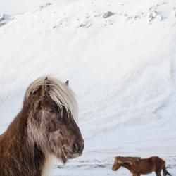 Icelandic Horse - 'He thinks he's handsome!'