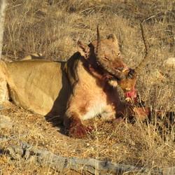 Leeuw met net gevangen prooi