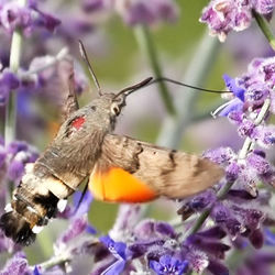 Kolibrievlinder.