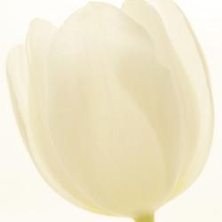 tulpje wit
