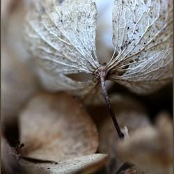 Herfst-hortensia