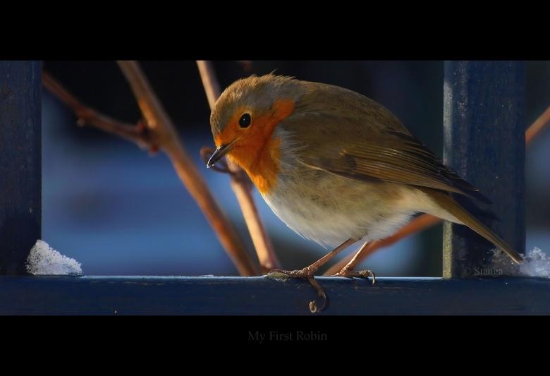 """My First Robin - <br /> <br /> Achter dubbelglas geschoten <img  src=""""/images/smileys/wilt.png""""/><br /> <br /> <br /> ThanX voor de reacties op m"""