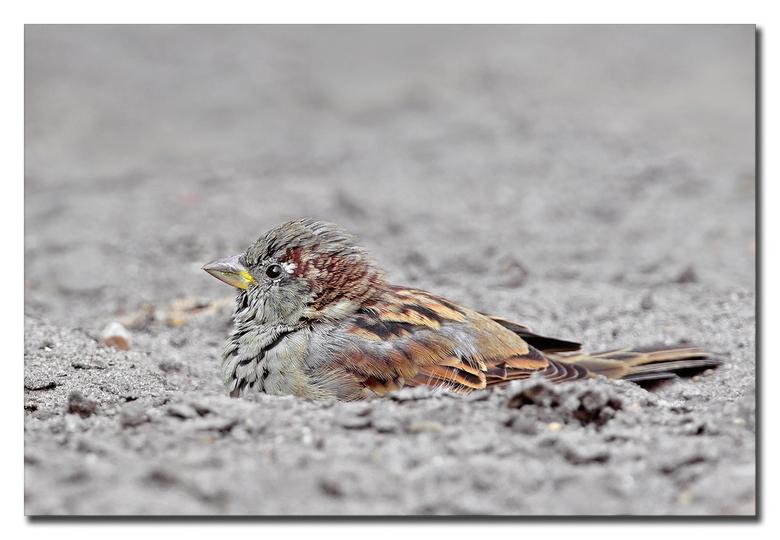 Zand badderen - een manneke mussie, dat aan het zand badderen is, dit doen ze om het ongedierte uit het verenkleed te schudden<br /> ( jammer dat het