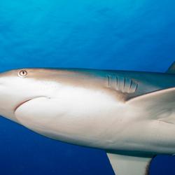 Portret Caribbean Reef haai