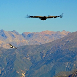 Condors- Peru