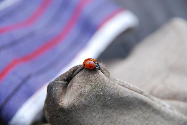 """Harde werker.... - Op mijn tuinhandschoenen vond ik opeens een lieveheersbeestje, ze wilde me zeker meehelpen....<img  src=""""/images/smileys/wilt.png""""/"""