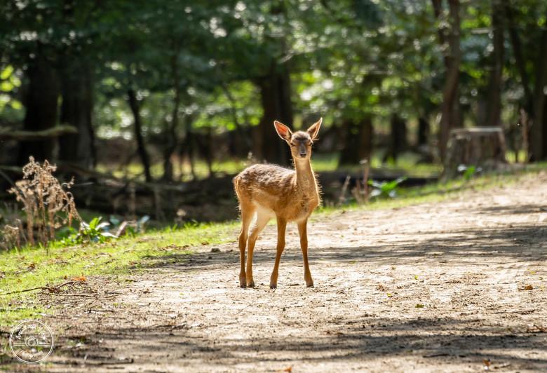 Bambi! - Wat een prachtig gebied. Veel hertjes gezien. Dit schattige hertje stond nog even bij de uitgang