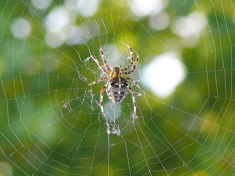 spinnetje in je web