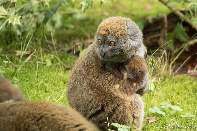 Veilig bij mama - Bamboemaki (Alaotra)<br /> De naam doet vermoeden dat de bamboemaki&#039;s bamboe eten. In het wild is dit niet zo. Langs het Alaot