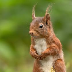 Nieuwsgierig eekhoorntje