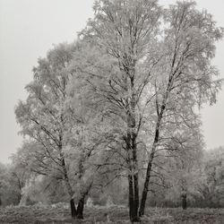 Twee bomen met bevroren mist