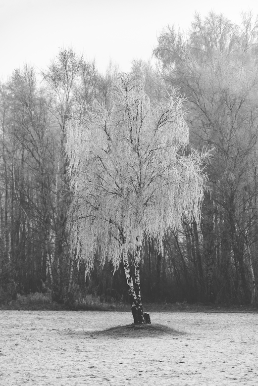 De witte boom