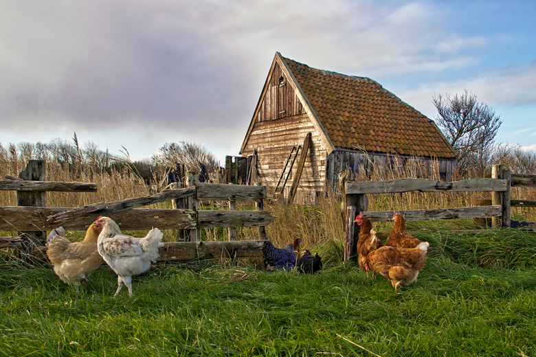 Kippenschuur Den Hoorn Texel