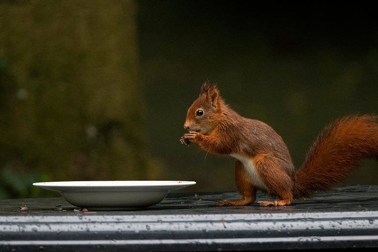 Eekhoorn - Eekhoorn lekker eten aan tafel bij de het Landal park de Vlegge