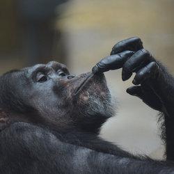 Chimpansee.