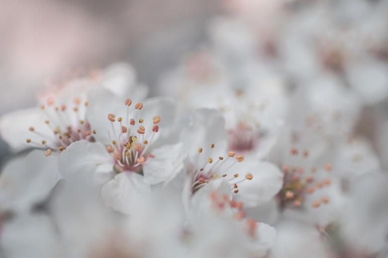 Zachtjes - Een zachte lentefoto. <br /> Het blijft mooi die bloesem die ons weer zachtjes de lente in brengt.<br /> <br /> <br /> <br /> Bedankt
