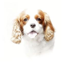 ik ben een hond............