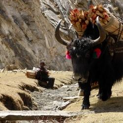 Yak, het transport middel in de bergen