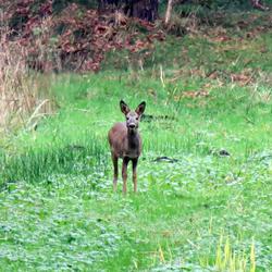 Bambie gespot in het bos