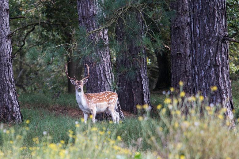 Hert in het bos - Hert in het bos