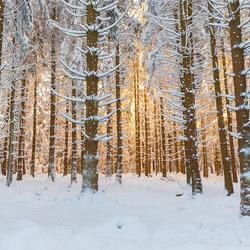 Het besneeuwde bos