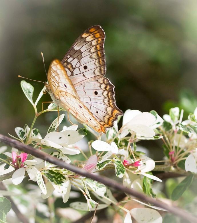 vlinder wit oranje - vlinder die onze tuin  in Suriname regelmatig bezoekt.