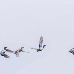 Slobeenden in vlucht
