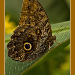 Caligo (uilvlinder)