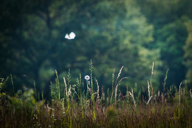 kogelbloem wacht op vlinder - Viroinval, de vallei van de Viroin in het zuiden van de provincie Namen. Op de kalkhoudende schrale graslanden bloeien v