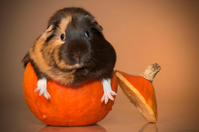 Guinea-pumpkin -