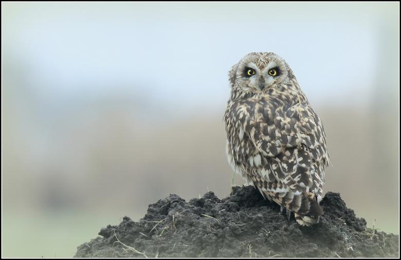Velduil - Zeldzaam, schuw en de meest betoverende en stoere blik van alle Nederlandse vogels, en na behoorlijk wat inspanning gisteren voor mijn lens.
