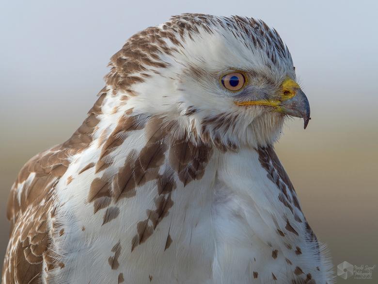 Close-up! - Deze Buizerd zat op een paaltje lang de weg in Lauwersmeer en was helemaal niet schuw, ik zat in de auto en had teveel bereik! dan maar ee