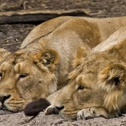 Wij zijn twee leeuwen jij en ik