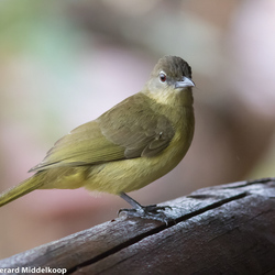 Yellow Bellied-Greenbul